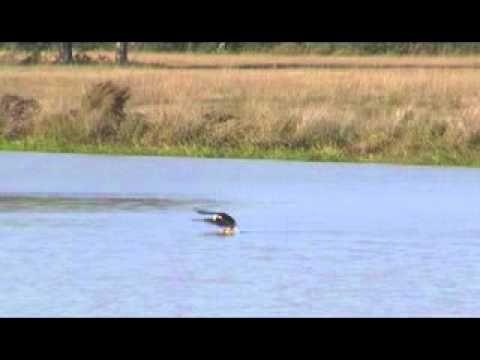 swimming eagle of baton rouge