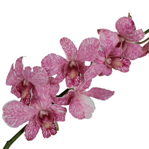 Shocking Pink Dendrobium Orchid Fiftyflowers Com In 2020 Dendrobium Orchids Orchids Wedding Bouquets Pink