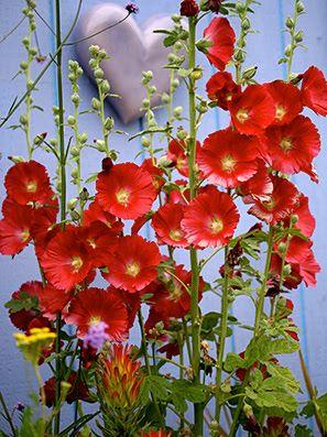 Red hollyhocks