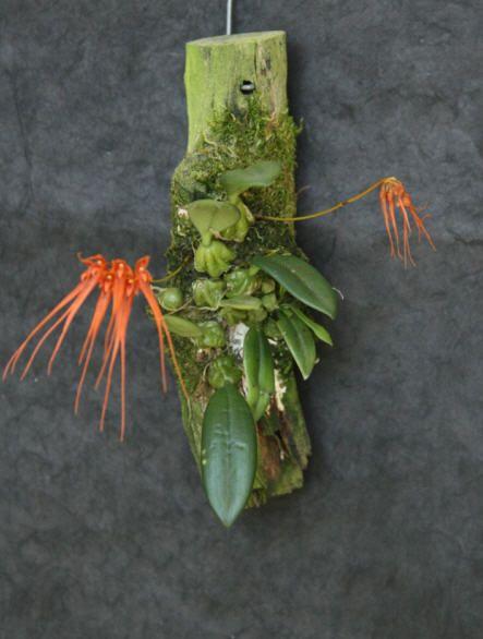 HOA PHONG LAN VIỆT-VIETNAM ORCHIRDS: Bulbophyllum