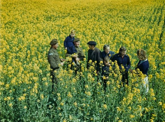 Canadian and Dutch soldiers in field of 'wild cabbage'.
