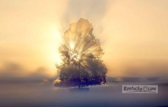 The sun broke through thick morning fog behind a tree on Overbrook Farm on Tates Creek Road in Lexington early on Aug. 22, 2012.