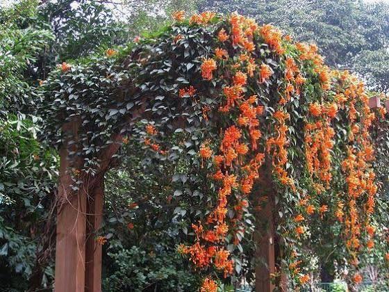 Zone 4 Perennial Flowering Vines Perennial Flowering Vines Flowering Vines Creepers Plants