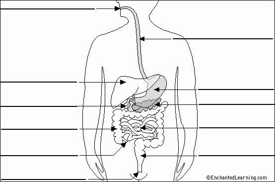 Human digestive system on Pinterest