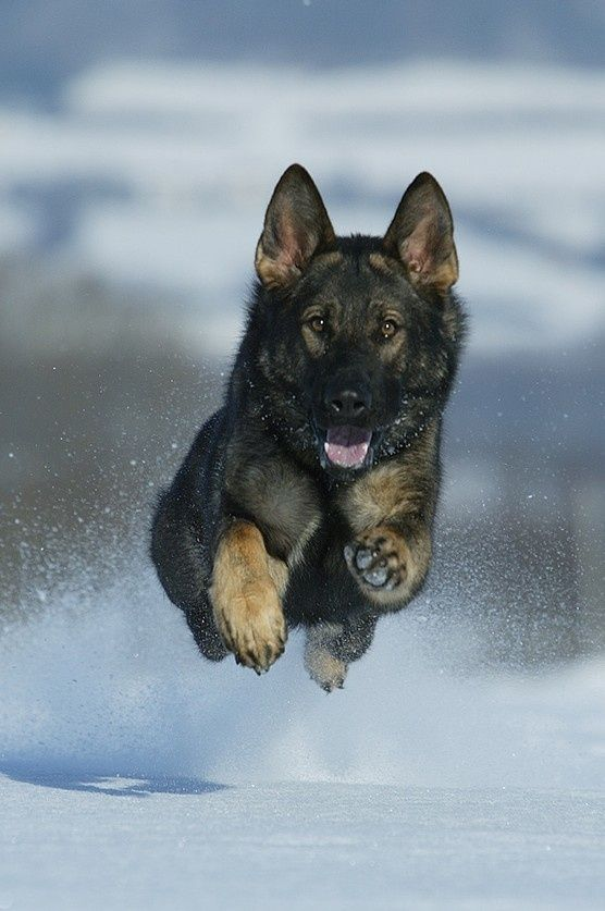 Here Are 10 Facts German Shepherd Lovers Must Always Remember The last one made me cry: