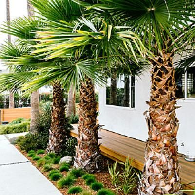 Palms and low-water plants for a side yard