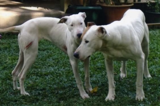 american bulldog greyhound mix dog breed mixes and mutts