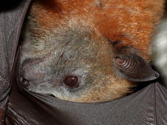 Grey-headed flying fox (4 months old)