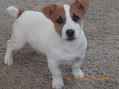 Jack Russell Terrier Puppy For Sale In Cincinnati Oh Adn 57880