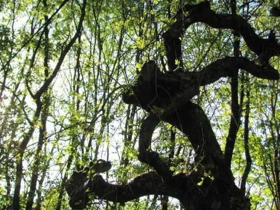 One of the oddly shaped trees Tris photographed ch 6 #ForBetterOrWorse #fanfic #fanfiction #Divergent #DivergentSeries #Cloakseeker