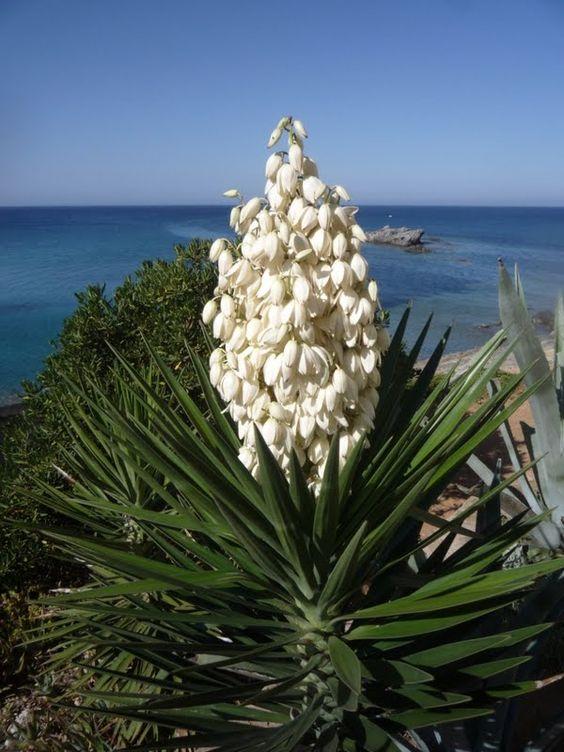 El salvador izote blue stem yucca giant yucca izote for Yuca de interior