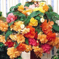 Cascade Begonia Pastel Mix: Flowers Gardens, Gardening Outdoors, Flowers Begonias, Cascade Begonia, Shade Garden, Flower Gardening, Begonia Pastel, Flowers Begoniacea Family
