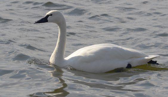 tundra swan | Tundra Swan
