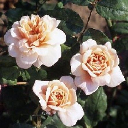 Perle d'Or (Shrub Rose)