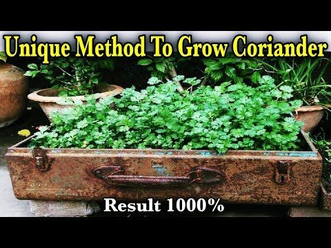 How To Grow Coriander Dhaniya Cilantro From Seeds Growing Coriander In A Terr Growing Coriander Organic Fruits And Vegetables Growing Organic Vegetables