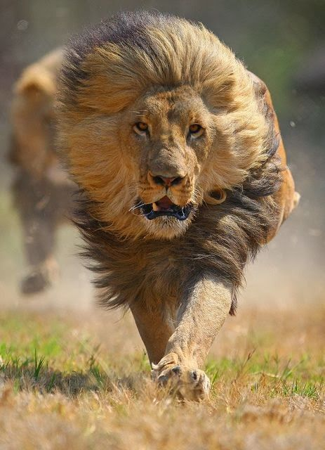 Running Lion... Right at the photographer... No thanks.