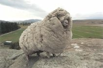 Meet Shrek, he is a Merino Sheep and one of New Zealand's most beloved icons. He was found wandering the wilderness on his own so debilitated by his overgrown coat because his fleece hadn't been sheared in 6 years!  He was caught in 2004 and they removed 60 pounds of fleece from him.