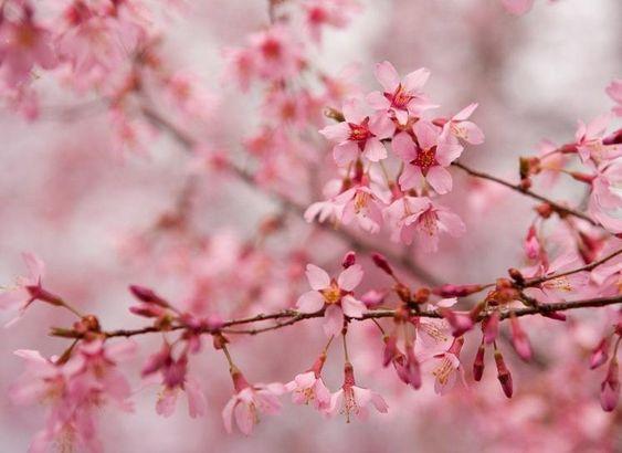 Okame Cherry Tree Flowering Cherry Tree Plants Flowering Trees