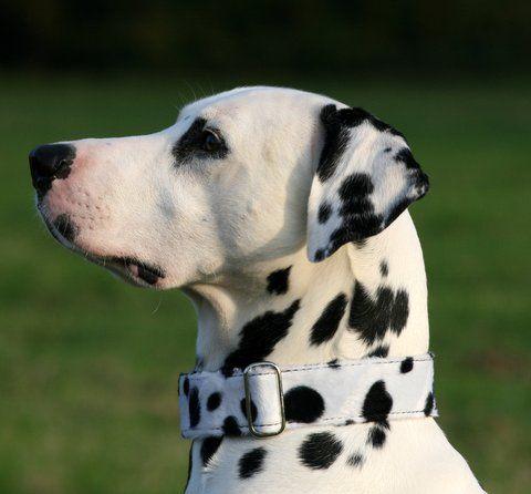 Dalmatiner Halsband