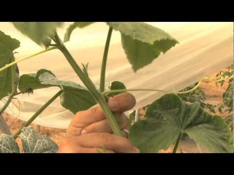 How to Prune Cucumbers - remove the growth point between ...