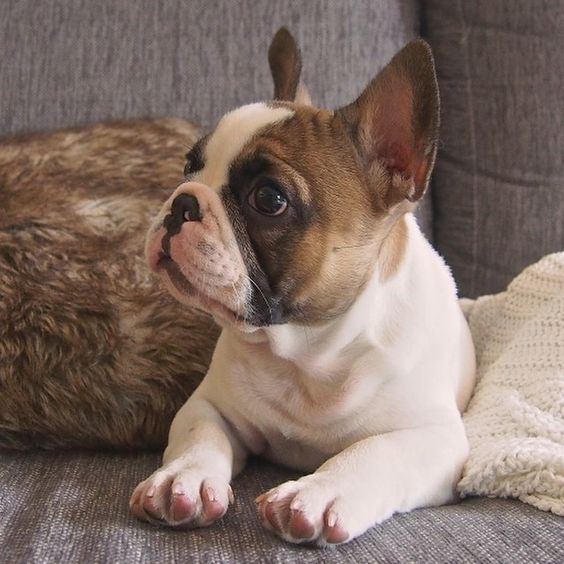 adorable fawn pied frenchie frenchies pinterest bacon dream man and puppys. Black Bedroom Furniture Sets. Home Design Ideas
