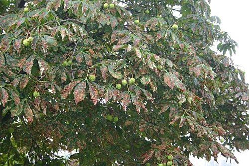 Kranker Rosskastanienbaum verursacht durch die  Kastanienminiermotte http://www.tinto.de/tipps/was-ist-los-mit-den-kastanien-im-biergarten-und-anderswo/
