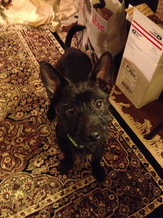Meet Scottie! He is a 5 month old terrier mix and a real sweetheart! He is energetic and loves people. He is available for adoption at www.luckydoganimalrescue.org  Adopted!!!!!