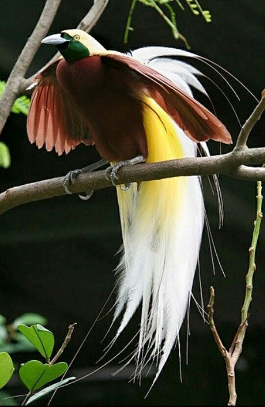 7500 Koleksi Gambar Burung Cendrawasih Tercantik Gratis Terbaru