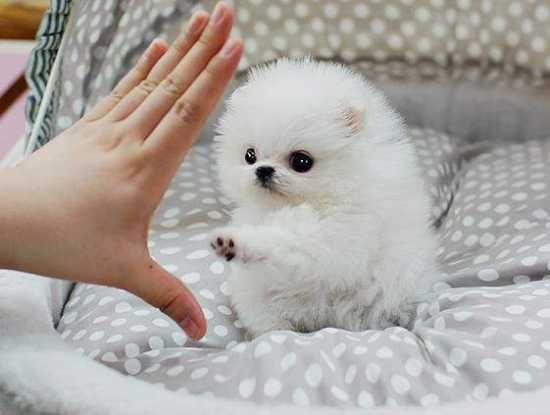 Pomeranian white full grown - photo#18