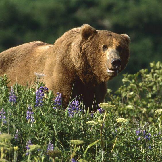 Mooie grizzlybeer