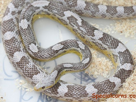 Never seen an Ice Corn Snake  It's gorgeous! I like corn snakes :)