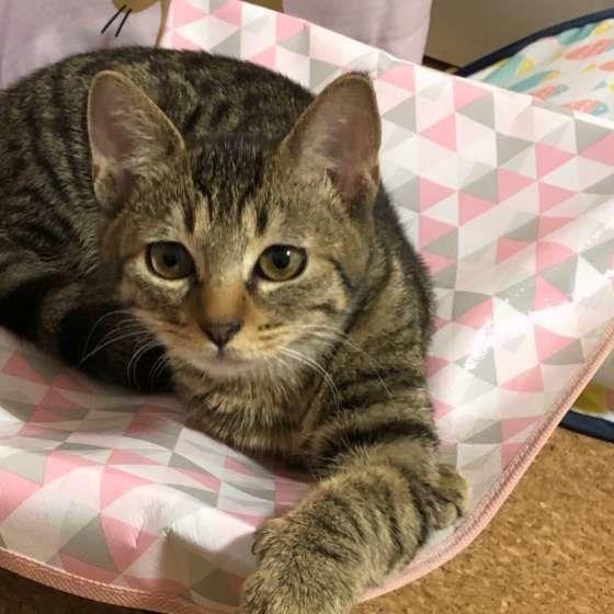 とってもチャーミングなキジトラ柄の猫 可愛いキジトラグッズも ねこのきもちweb Magazine 動物 かわいい 猫 ねこ かわいい