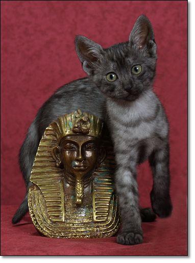 Egyptian mau, Smoke and Poetry on Pinterest