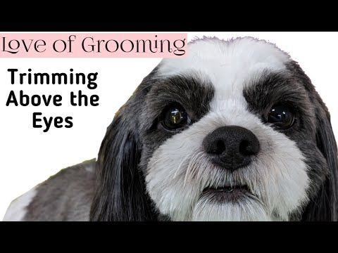 Trimming A Short Visor On A Shih Tzu Trimming Above The Eyes Youtube Shih Tzu Emergency Vet Dog Vitamin