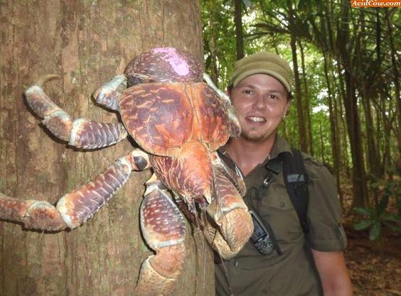 Reprodução/AcidCow  Foto 1 de 12  Você não está enxergando errado e essa foto não foi modificada no Photoshop. Essa criatura gigante é um caranguejo! Encontrado em várias regiões do mundo, ele é conhecido como caranguejo-dos-coqueiros.