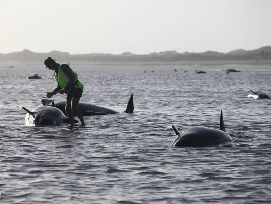 100 pilot whales dead in New Zealand beaching