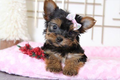 Yorkshire Terrier Puppy For Sale In Bel Air Md Adn 60484 On Puppyfinder Com Gender Fema Yorkshire Terrier Yorkshire Terrier Puppies Yorkie Yorkshire Terrier