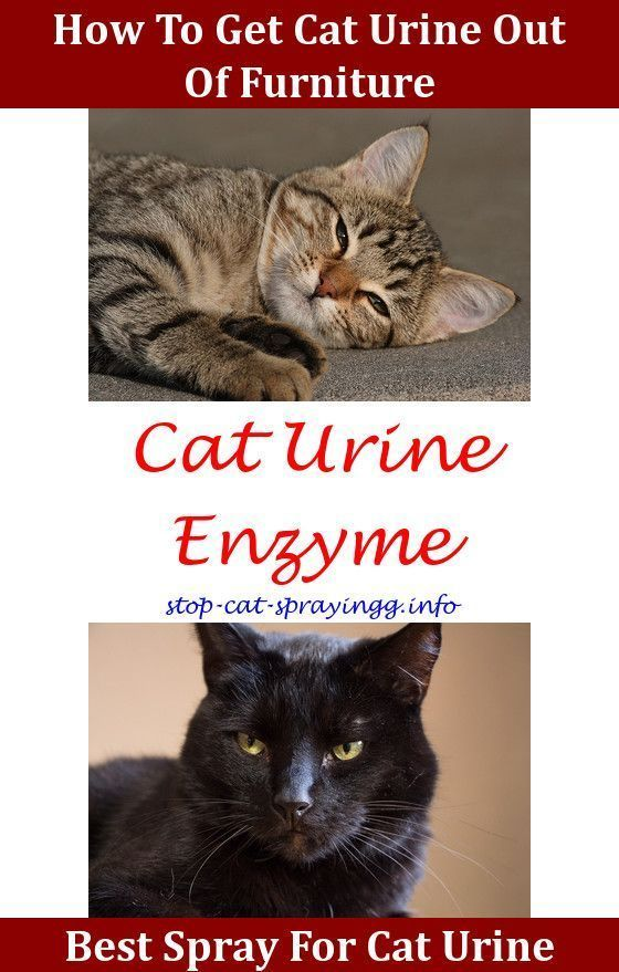 How To Prevent Cats From Spraying Cat Urine Health Cat Urine How To Get Of Cat Urine Smell Spray To Stop Cats From Peeing Cats Smelling Cat Pee Smell Cat Spray