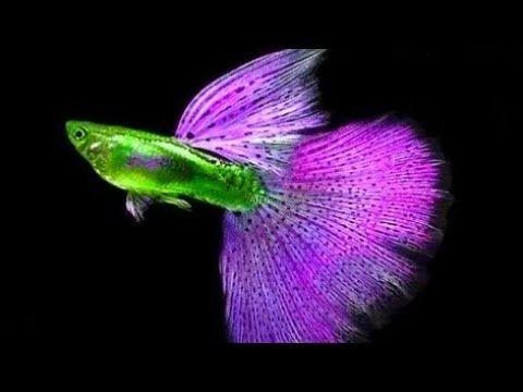 20 Most Beautiful Rare Guppy Around The World Youtube Guppy Cool Fish Guppy Fish