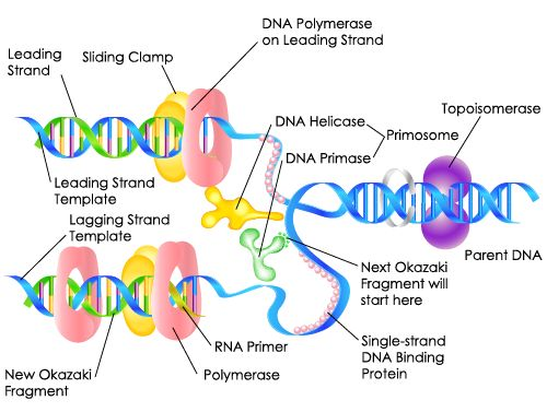 Genetic Material: Definition, Structure & Function - Study.com