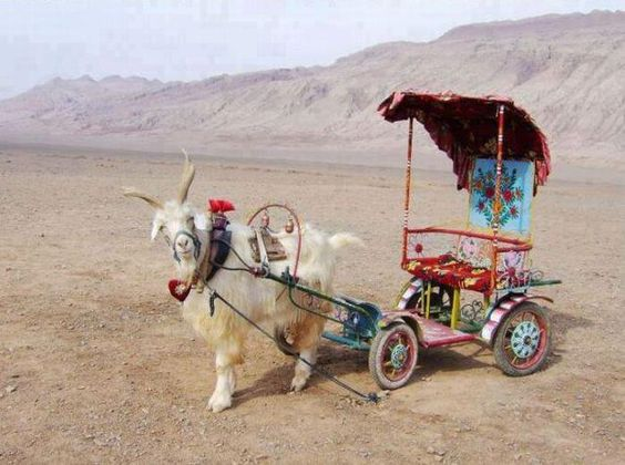 goat cart: