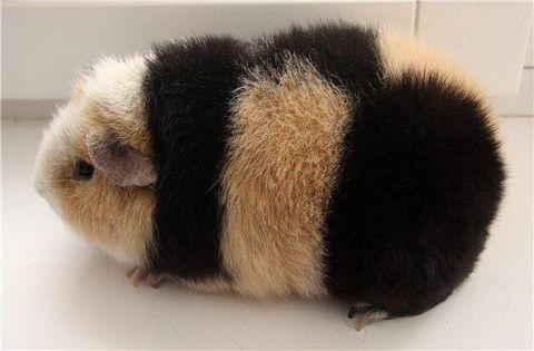 teddy guinea pig - cochon d'Inde rex