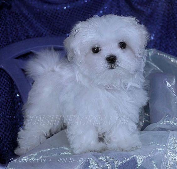 maltese puppies for sale in ms pinterest the world s catalog of ideas 6419