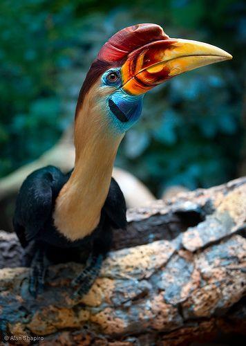 A red-knobbed hornbill.