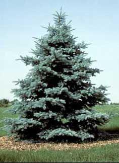 blue spruce Google Search Trees Pinterest Beautiful
