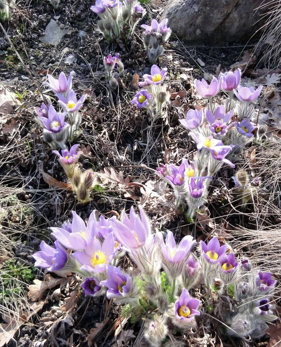 Zauberhafter Frühlingsbote: Die Frühlings-Kuhschelle (Pulsatilla vernalis).