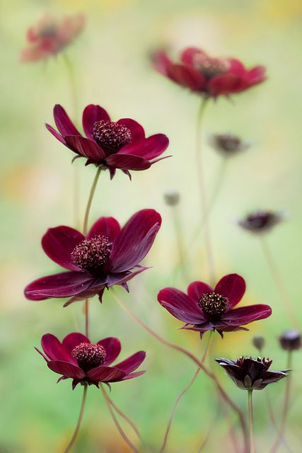 Cosmos choca mocha.....they smell like chocolate!....