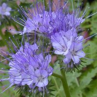 Phacelia is listed as one of the top 20 honey-producing flowers for honeybees and is very attractive to bumblebees and hoverflies.
