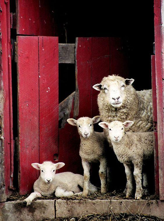 Moutons ~ Sheep