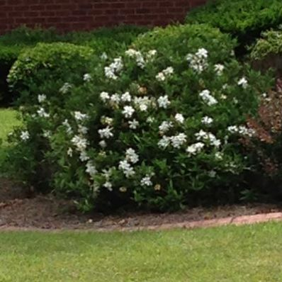 Frost Proof Gardenia Jasminoides for Sale - Brighter Blooms Nursery
